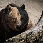 熊の狩猟について!その許可と方法は?
