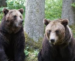 熊 性別 見分け方