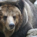 熊を狩るマタギと動物愛護団体について!