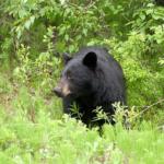 手負いの熊は本当に危険?その他でも危険な時は?
