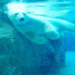 熊が海を泳ぐ速さはどれぐらい?