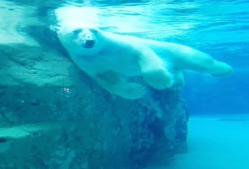 熊 海 泳ぐ 速さ