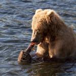 熊の食事!量は?