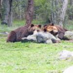 熊の習性!すべての熊には餌を埋める習性がある?