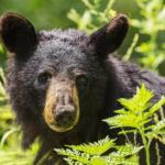 熊と遭遇した時に目を合わせる?熊からの警告もある?