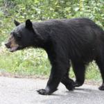 熊と人間の走る時速は?熊と事故に遭わないようにするには?