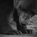 パンダと白熊と熊について!違いは?