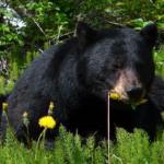 熊は腹痛の万能薬?理由は?
