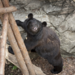 熊の飼育方法とは?飼育にかかる値段はどれくらい?