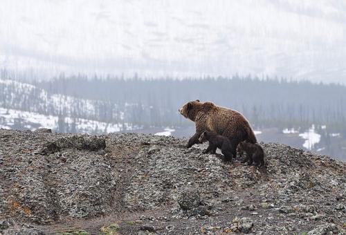 熊 赤ちゃん 鳴き声