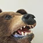 熊の毛皮や剥製の作り方は?値段はどれぐらい?
