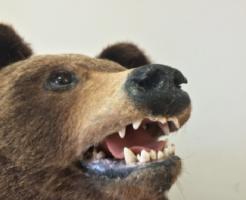 熊 剥製 作り方 値段