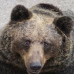 熊の狩りを銃で行う場合について!熊の急所はどこ?