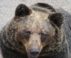 熊 狩り 銃 急所