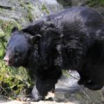 熊が絶滅するとどんな影響がでる!?熊絶滅の危険性とは?