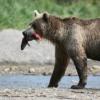 熊 鮭 食べる 食べ方