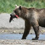 熊が鮭を食べる理由は?食べ方は?