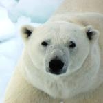 なぜ北極に熊はいるのに南極にはいないの!?