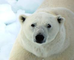 熊 北極 南極