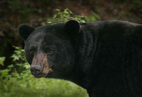 熊 捕獲 方法 罠