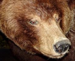熊 種類 大きさ 強さ
