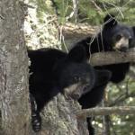 熊の出産の時期や出産した子供の体重は!?
