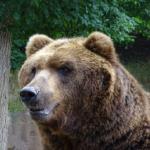 寒い地域の熊が大きい理由は?「ベルクマンの法則」とは!?