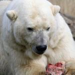 熊と白熊の違いについて!交配はするの?