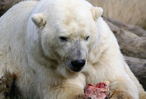 熊 白熊 違い 交配