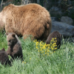熊は冬眠の時期に出産している!?
