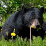 野生の熊の食事って何?量はどれくらい食べるの?