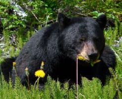 熊 食事 量