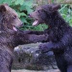 熊の赤ちゃんの鳴き声ってどんな鳴き声?体重は!?