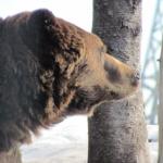 冬眠中の熊!体内のメカニズムについて!