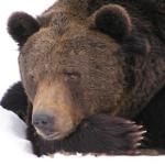 熊はなぜ冬眠をするの!?失敗はある?