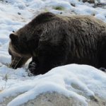 熊の冬眠の方法について!場所や時期は!?