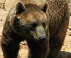 熊 英語 学名 読み方