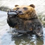 熊に手を振ったら振り返してくれる!理由は!?