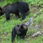 日本に生息する熊の身長と体重の平均ってどれくらい!?