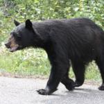 日本の熊の種類は?生息数はどれぐらい?